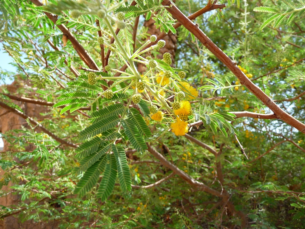 acacia arabica-decouverte-oman