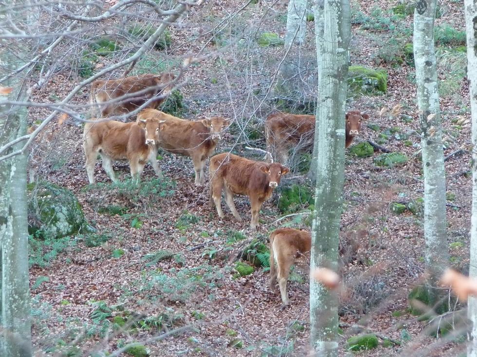 aspet-col de larrieu- vaches sylvestres-randonnee-michel bessone