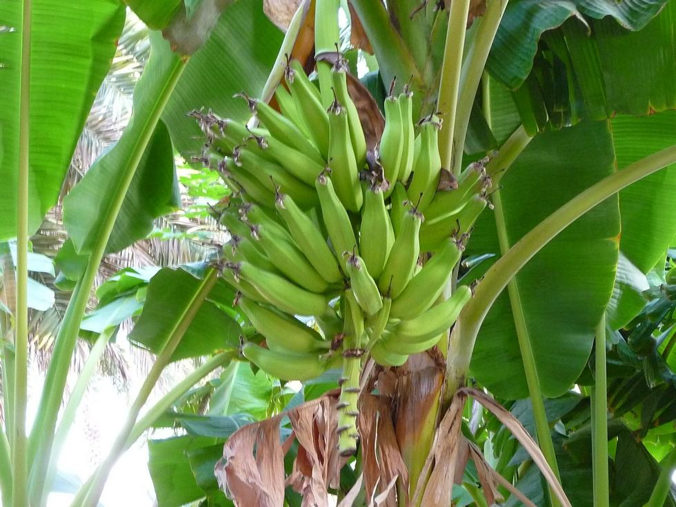 Bananier dans la palmeraie de Misfah.