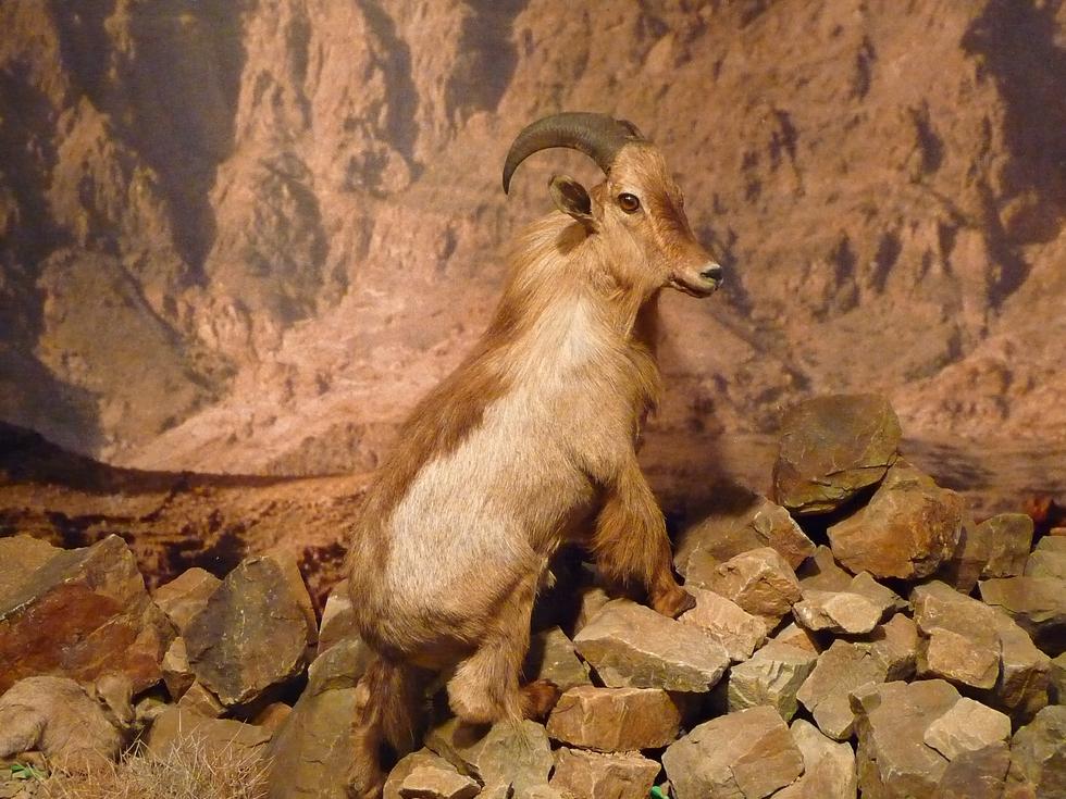 tahr d'arabie-musee d'histoire naturelle-mascate-decouverte-oman