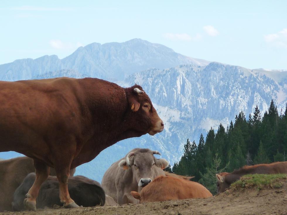 montagne-vaches-taureau-turbon-boucle-pittoresque-cotiella