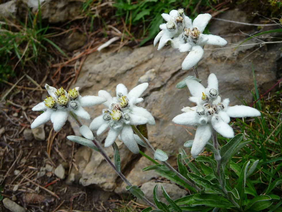edelweiss-vire-tormosa