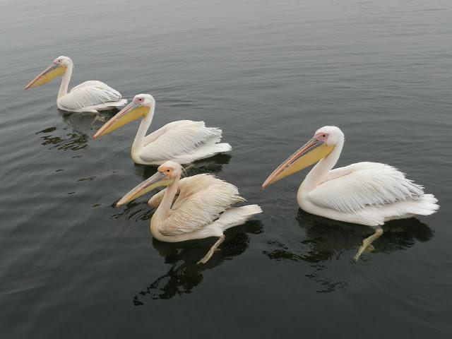 pelicans-namibie