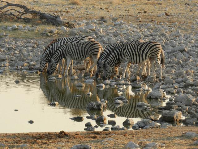 zebres-s-abreuvant-namibie