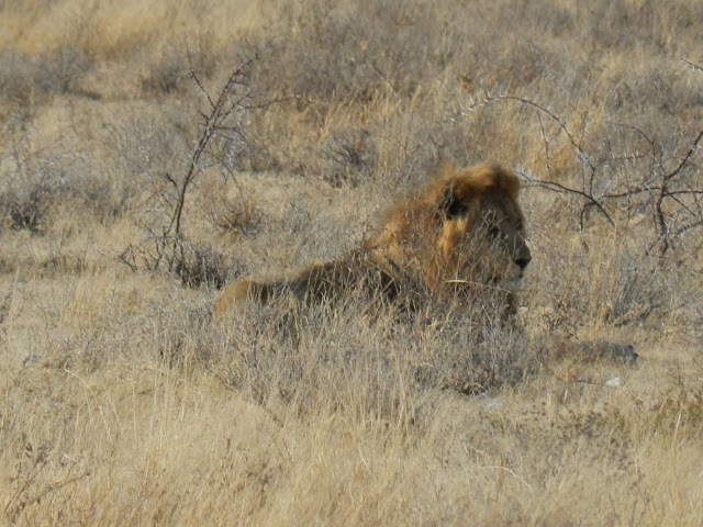majeste-lion-namibie