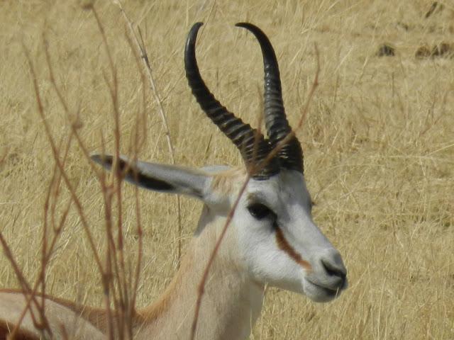 antilope-springbok-namibie