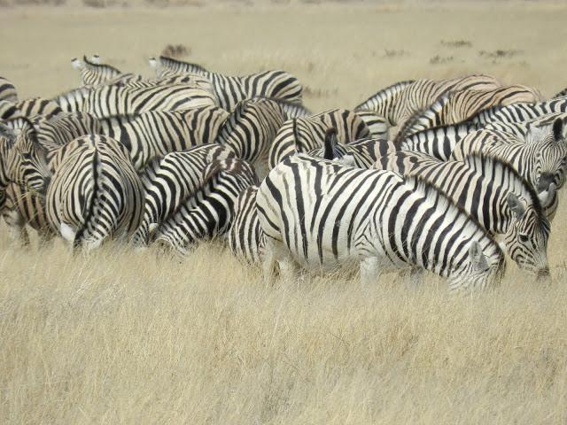 zebrures-namibie