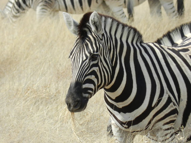 zebre-namibie