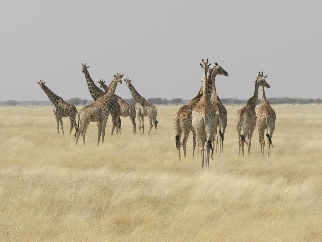 groupe-girafes-namibie