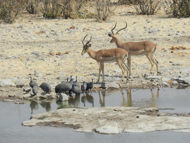 pintades-antilopes-impalas-namibie