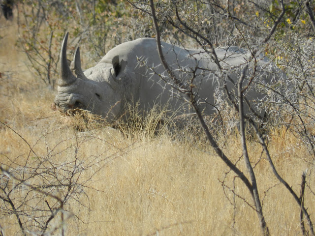 rhinoceros-namibie