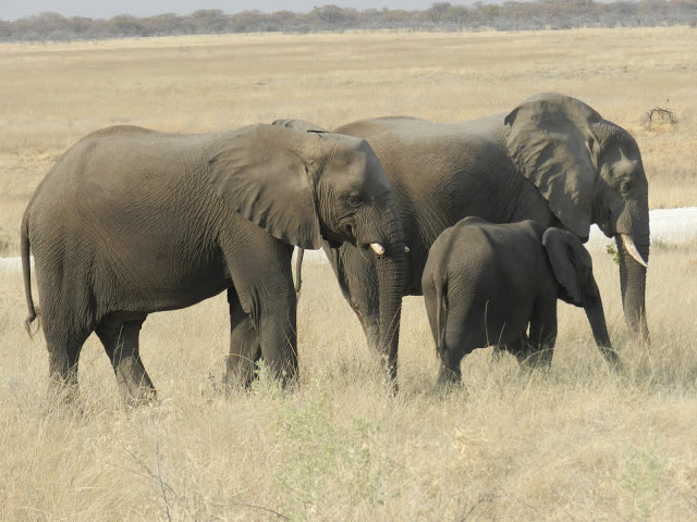 elephants-namibie