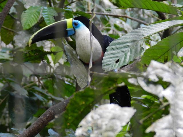 toucan-equateur
