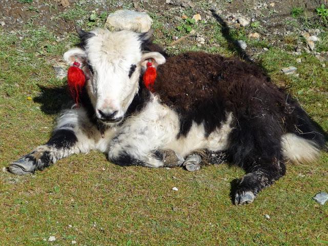 jeune-yak-tour-des-annapurnas-nepal