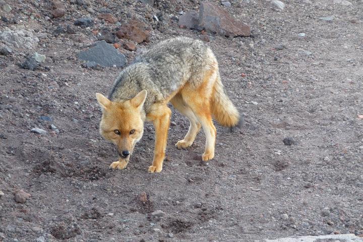 coyote-equateur