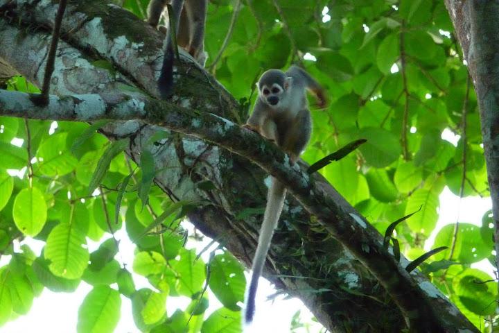 singe-ecureuil-equateur