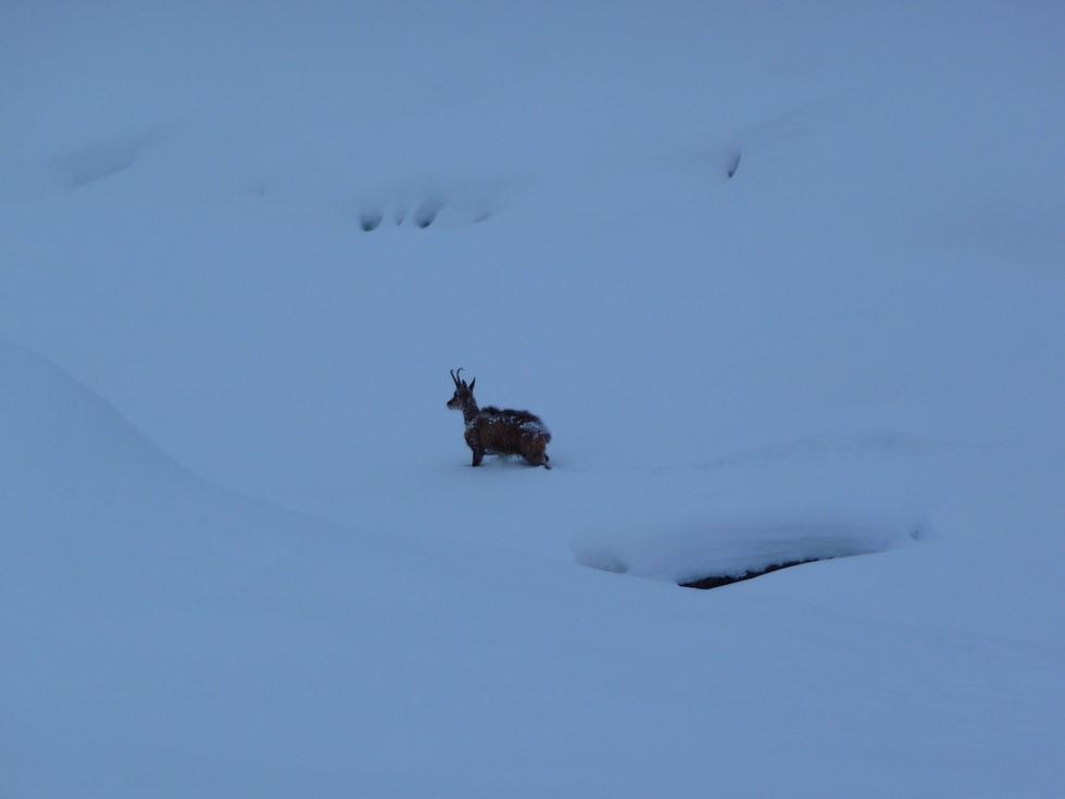 seul-dans-la-neige-autre-isard-male-raquettes-moudang