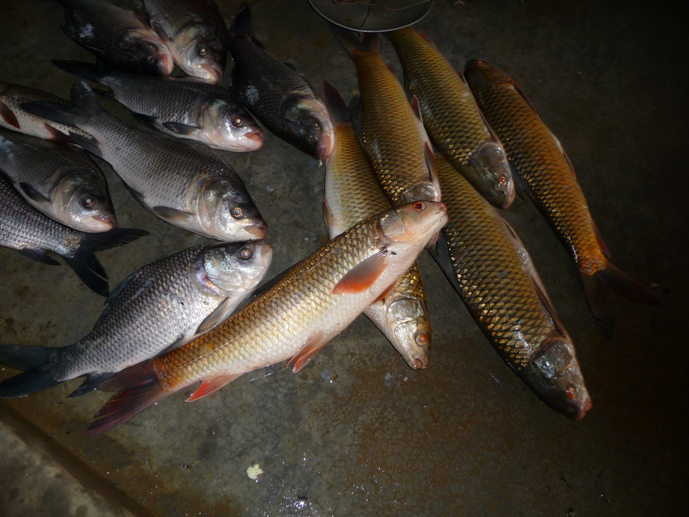 carpes-de-pisciculture-vendues-au-marche-bangladesh-chez-mes-amis-voyage-d-exception
