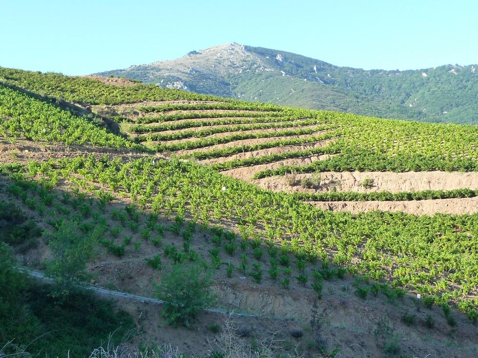 vignes-rimbau-premier-temps-des-vendanges-collioure