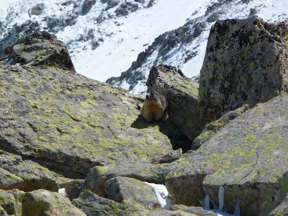 marmotte-rupicole-a-plus-2400-metres-altitude-en-raquettes-au-clot-d-aygues-cluses