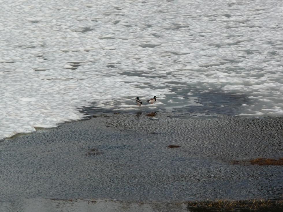 dans-lac-sur-glace-deux-colverts-au-lac-port-bielh-canards-sauvages-raquettes-et-canicule