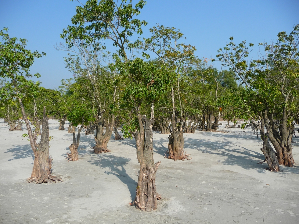 ces-rangees-arbres-qui-jaillissent-du-sable-vraiment-etonnantes-bangladesh-second-travel-7