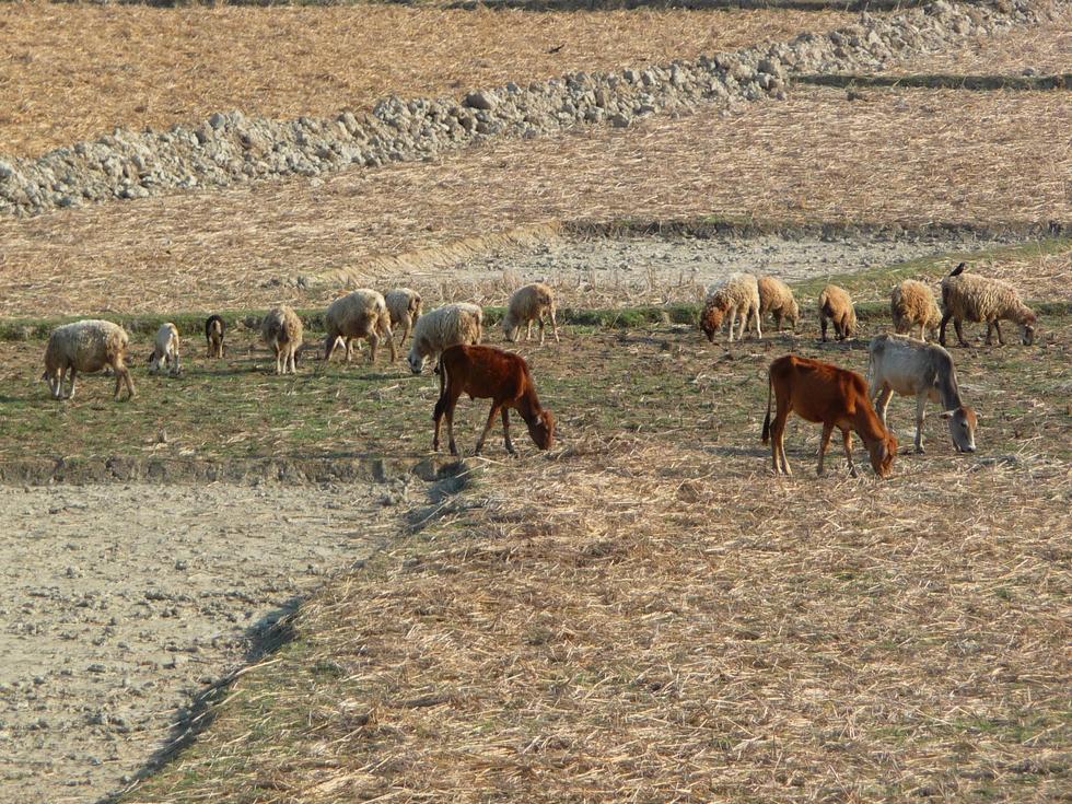 les-vaches-semblent-pas-beaucoup-plus-grosses-que-moutons-bangladesh-second-travel-9
