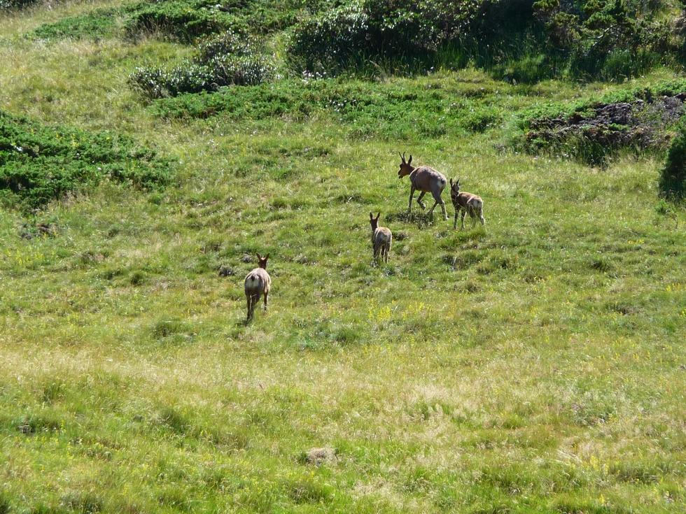 Le subadulte, à gauche, rejoint la chèvre et les deux chevreaux. (Photo : Michel Bessone)