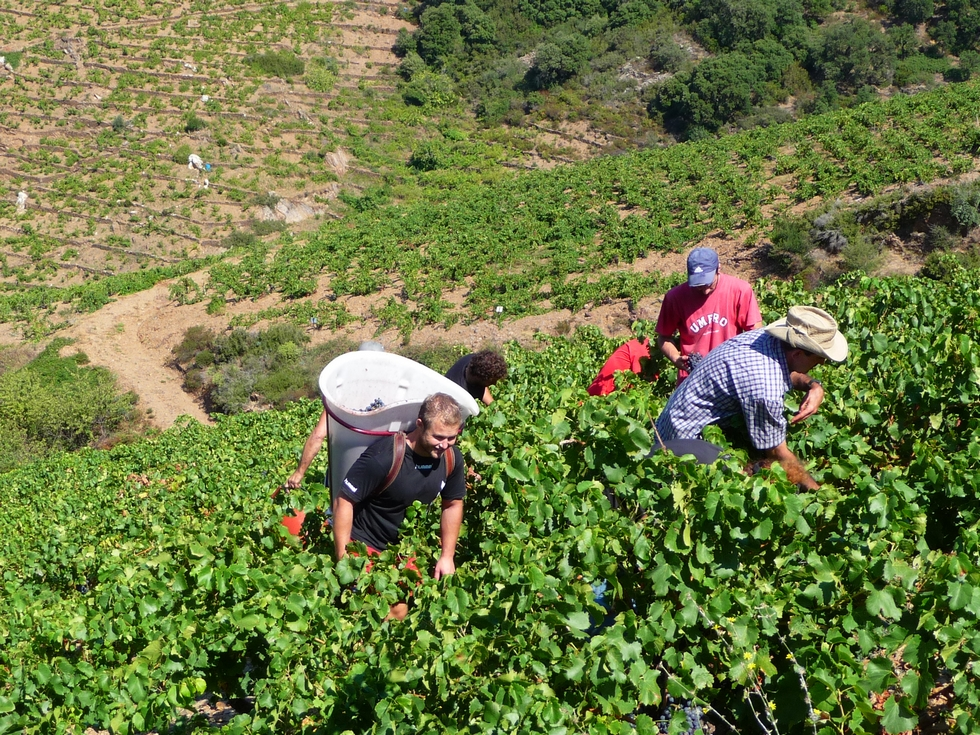 vendanges-2015-collioure-collegues-de-travail-excellente-saison-vendanges-on-repart-sur-blog