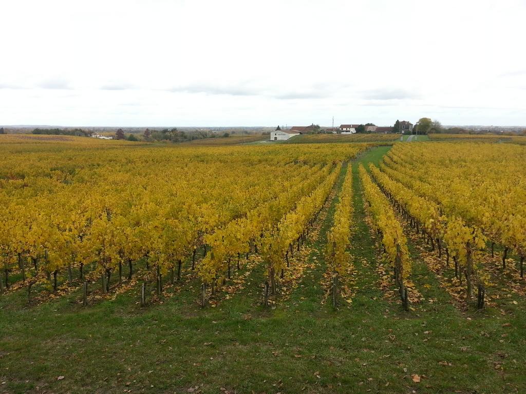 vignes-fronsadais-11-novembre-feuilles-commencent-tomber-fin-vendanges-dans-bordelais