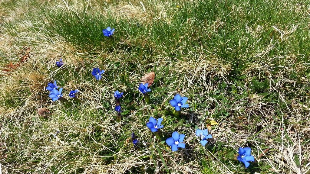 bleues-printemps-gentianes-et-bandes-de-neige-au-signal-de-bassia