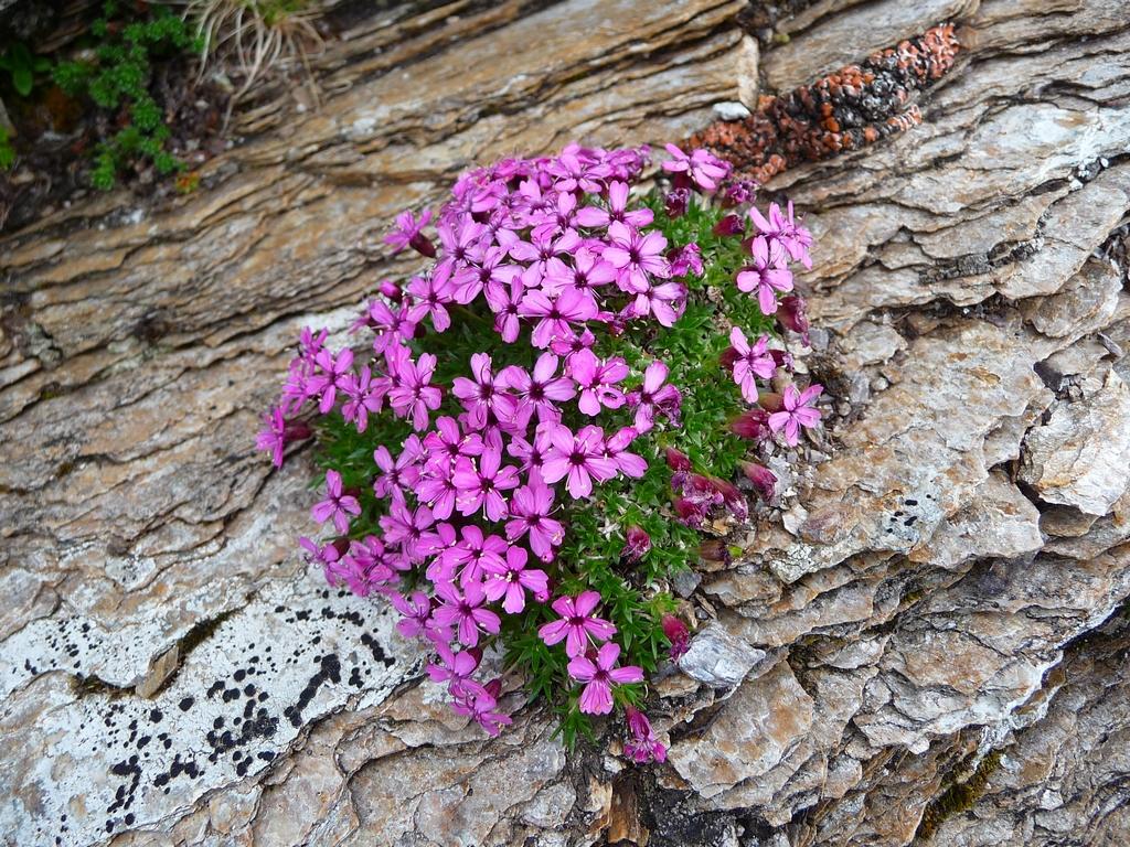 plante-de-montagne-et-de-toundra-le-silene-acaule-pic-aiguillette-et-pic-marioules
