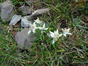 des-fleurs-dit-on-immortelles-dans-pentes-pic-tramezaygues