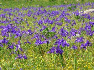 champ-iris-une-curiosite-botanique-iris-blanc-pyrenees