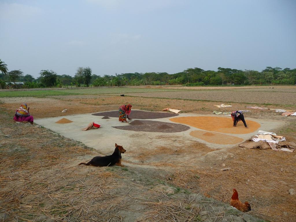 piara-et-kanok-etalent-riz-sur-aire-sechage-riz-au-bangladesh-aspects-vie-quotidienne-2