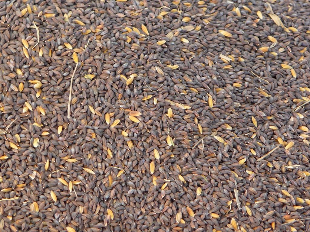 ce-riz-noir-pas-etuve-par-la-suite-riz-au-bangladesh-aspects-vie-quotidienne-2