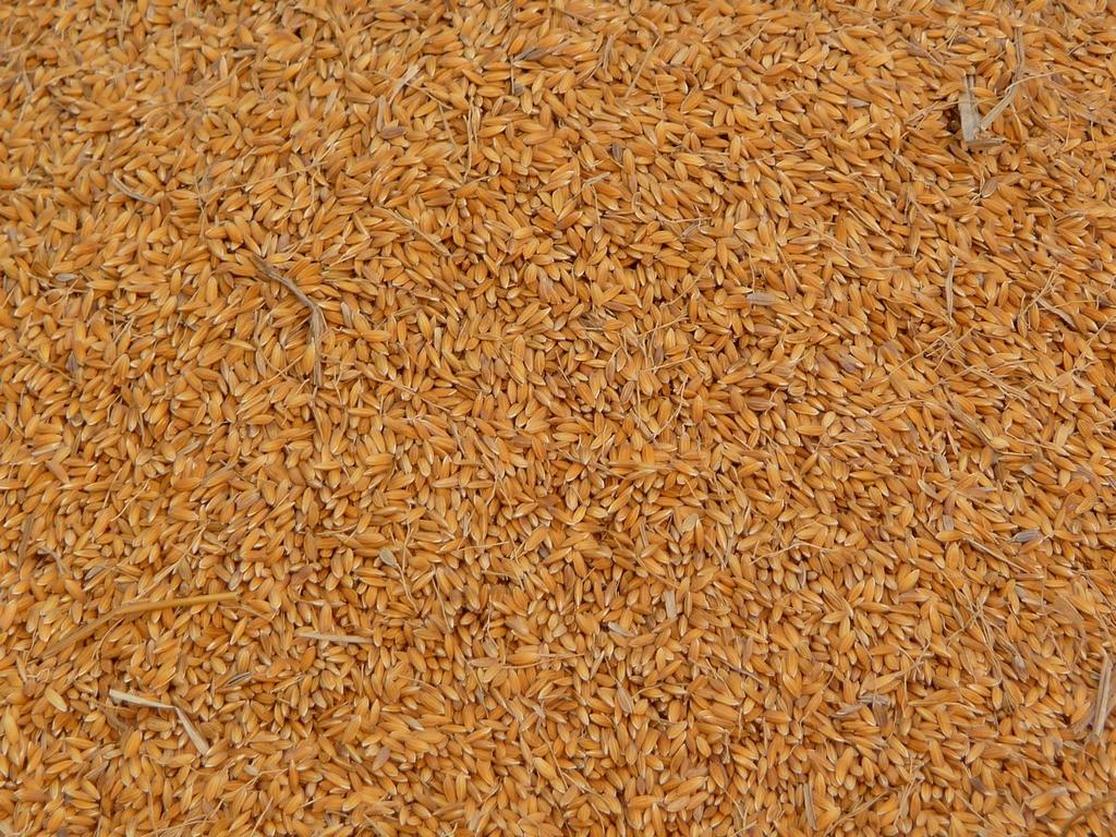 variete-plus-classique-destinee-a-etre-etuvee-riz-au-bangladesh-aspects-vie-quotidienne-2