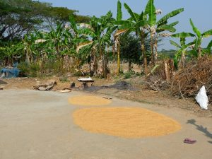 sechage-apres-etuvage-riz-au-bangladesh-aspects-vie-quotidienne-3