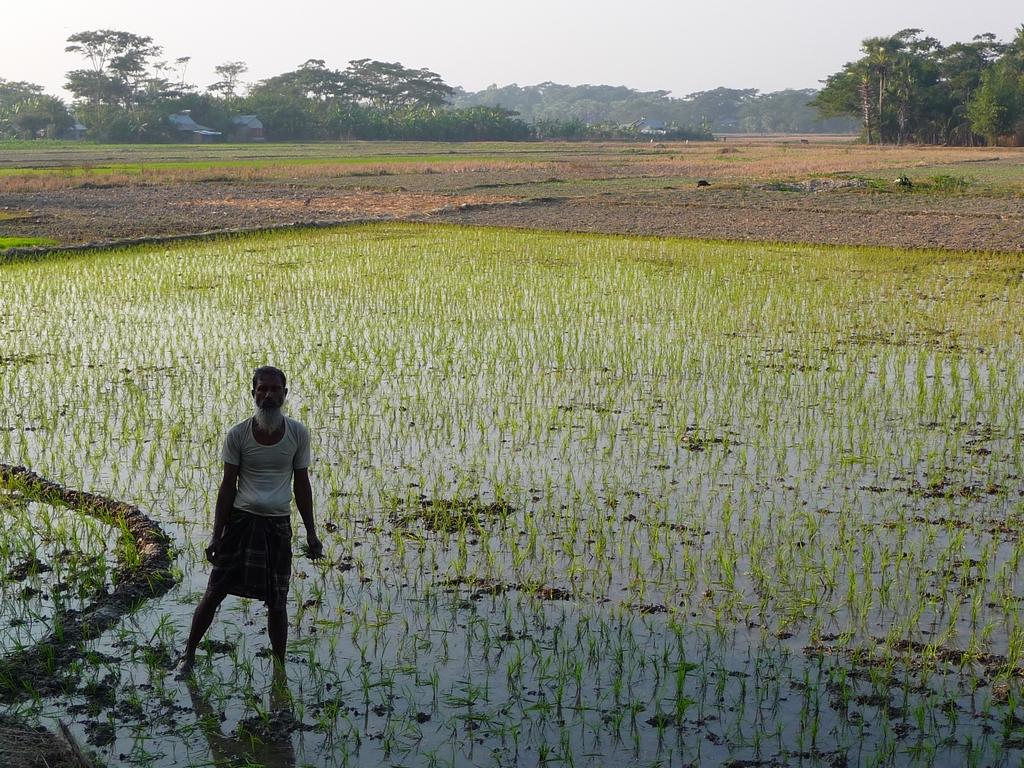 travail-dans-rizieres-connu-pour-sa-penibilite-riz-au-bangladesh-aspects-vie-quotidienne-1