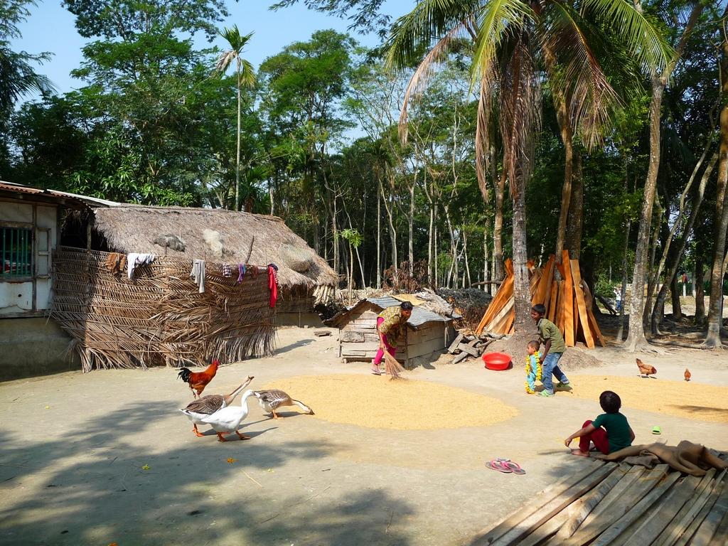 riz-repandu-sol-pres-maison-par-kanok-attire-basse-cour-riz-au-bangladesh-aspects-vie-quotidienne-2