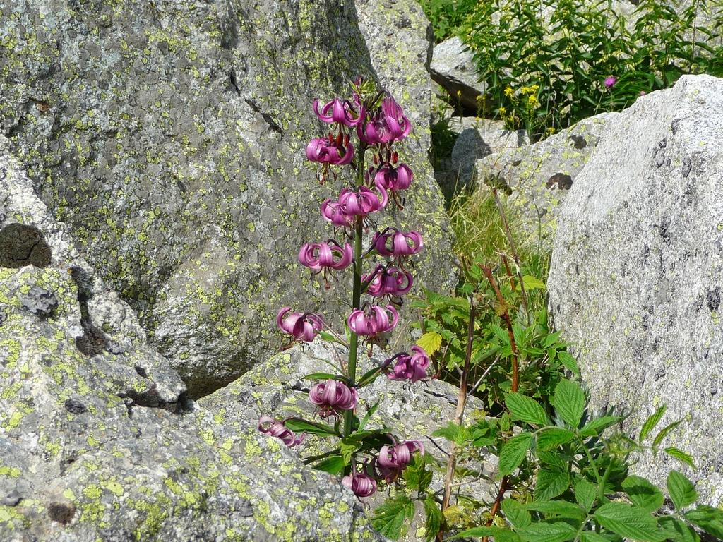 lis-martagon-pousse-ici-au-milieu-blocs-granite-en-vallee-barrosa-regal-de-lis