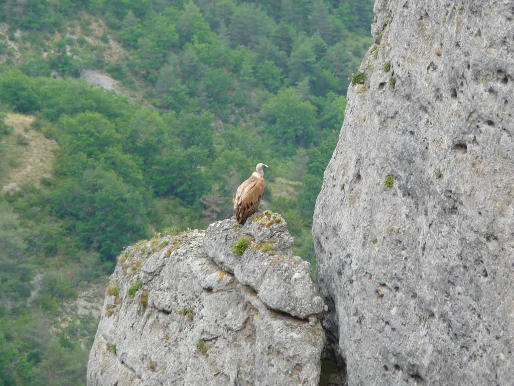 vautour-fauve-a-aire-une-boucle-dans-gorges-tarn-et-jonte
