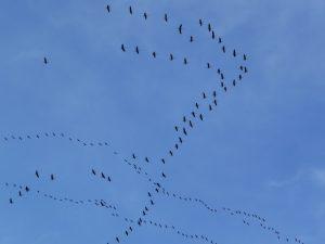 vol-migratoire-grues-cendrees-hiver-approche-vol-grues-cendrees-au-dessus-mont-aspet