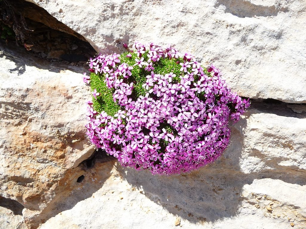 silene-acaule-en-coussinet montagne-cap-long-pic-campbieil-ascension-beau-3000