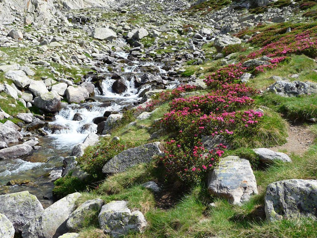 rhodos-en-fleurs-donnent-attrait-supplementaire-a-randonnee-montagne-cap-long-pic-campbieil-ascension-beau-3000